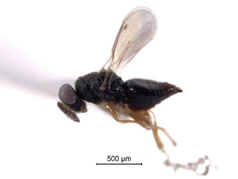 Image of Grotiusomyia