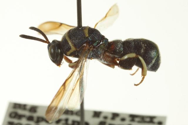 Image of Leucospis