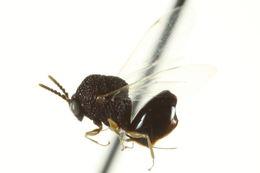 Image of Eucharitinae