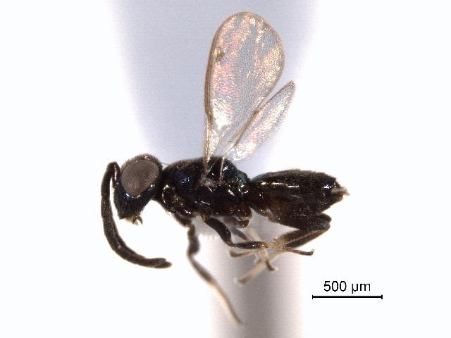 Image of Zaischnopsis