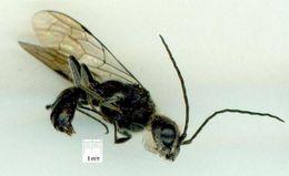 Image of <i>Tachyphron aculeatus</i> Brown 2005