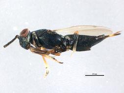 Image of Eupelmus