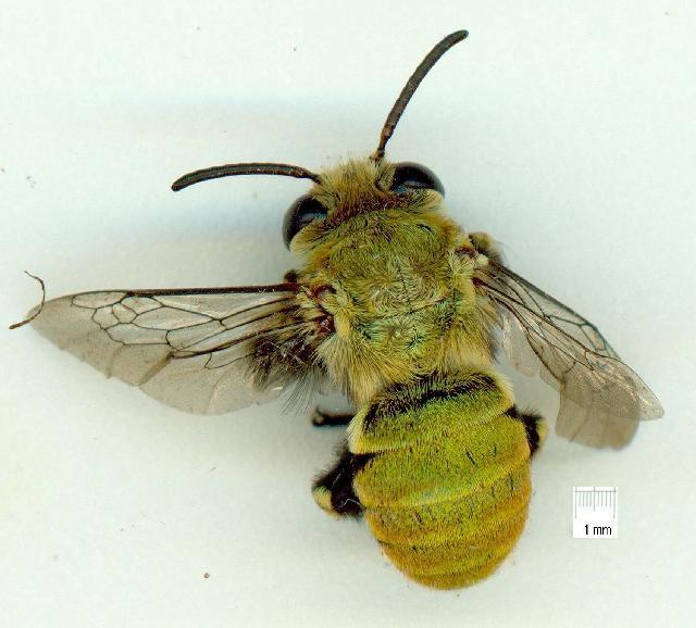 Image of <i>Amegilla aeruginosa</i> (Smith 1854)