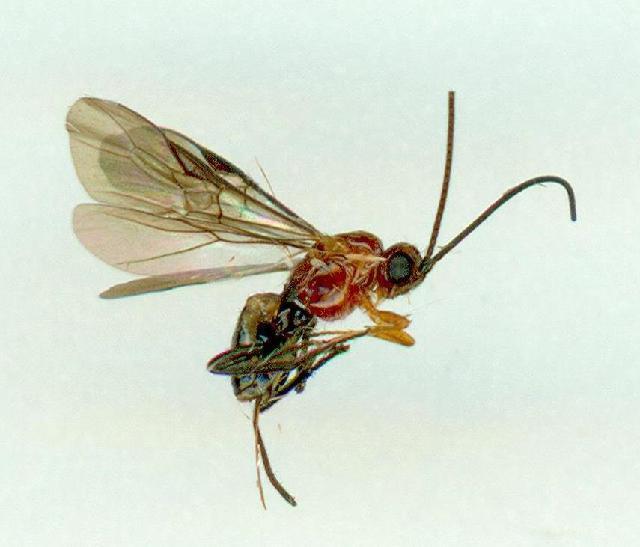 Image of Amyosoma