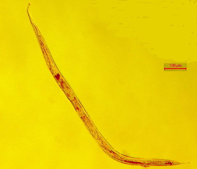 Image of Enchelidiidae