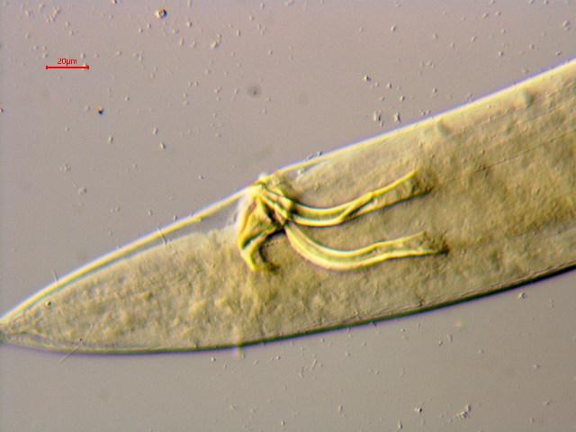 Image of Sphaerolaimidae