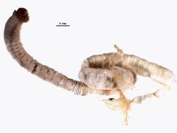 Image of Notomastus latericeus