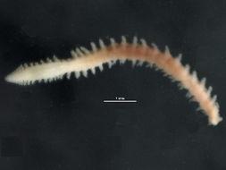 Image of <i>Paralacydonia paradoxa</i> Fauvel 1913