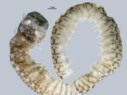 Image of Korean lugworm