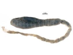 Image of <i>Pherusa bengalensis</i> (Fauvel 1932)