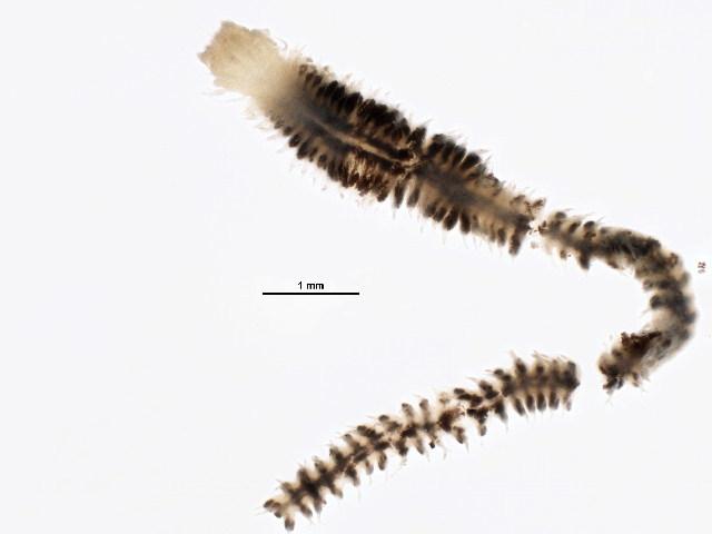 Image of <i>Sigambra bassi</i> (Hartman 1945)