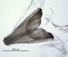 Image of <i>Lumbrineris heteropoda</i>