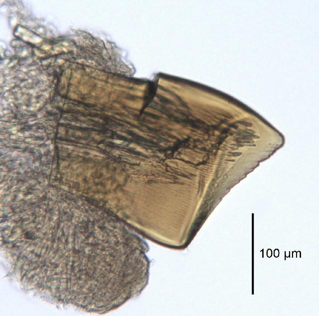 Image of <i>Mesochaetopterus japonicus</i> Fujiwara 1934