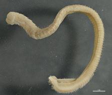 Image of <i><i>Aricidea</i></i> (Aricidea) <i>fragilis</i> Webster 1879