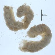 Image of <i>Aricidea</i> (<i>Aedicira</i>) <i>pacifica</i> Hartman 1944