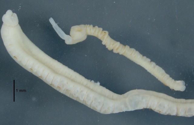 Image of <i>Cabira pilargiformis</i> (Uschakov & Wu 1962)