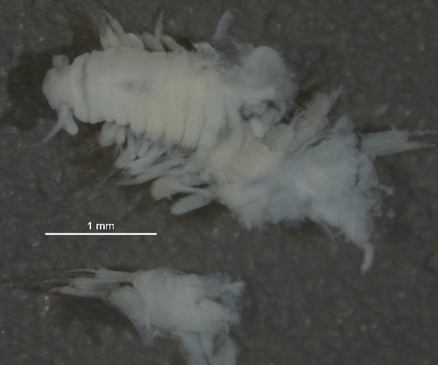 Image of <i>Schistomeringos rudolphii</i>
