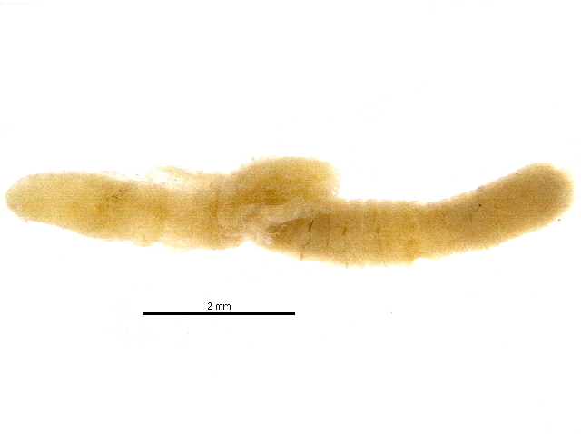 Image of Polychaete