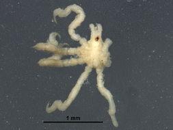 Image of Anoplodactylus