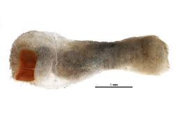 Image of <i>Sternaspis scutata</i> (Ranzani 1817)