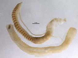 Image of <i>Cossura aciculata</i> (Wu & Chen 1977)