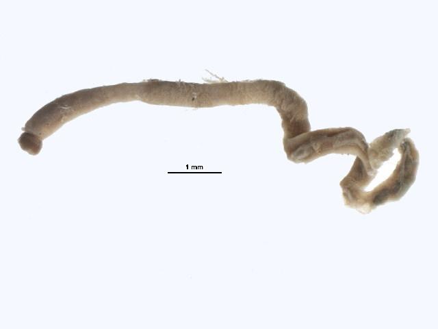Image of <i>Mediomastus calliforniensis</i>