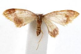 Image of <i>Idaea basinta</i> Schaus 1901