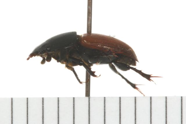 Image of <i>Acrossus rubripennis</i> (Horn 1870)