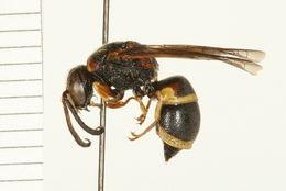 Image of <i>Euodynerus castigatus</i> (de Saussure 1853)