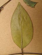 Image of Pericopsis