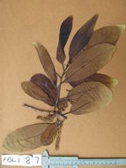 Image of tropical almond