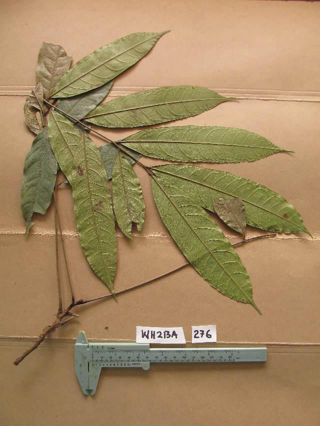 Image of Placodiscus