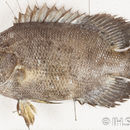 Image of tripletails