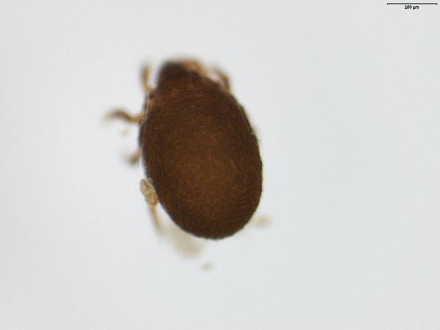 Image of <i>Ameronothrus lineatus</i> (Thorell 1871)