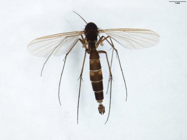 Image of <i>Rymosia placida</i> Winnertz 1863