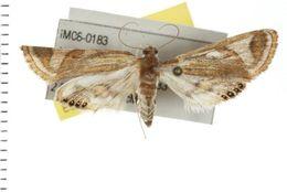 Image of <i>Strepsinoma foveata</i> Turner 1937