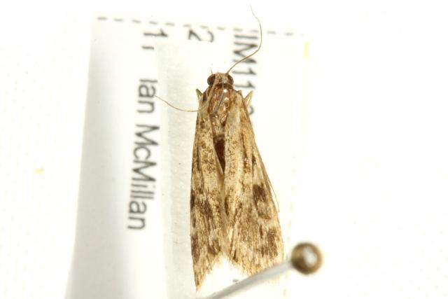 Image of <i>Araeomorpha diplopa</i> Lower 1903