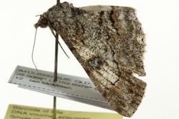 Image of <i>Cleora displicata complex</i>