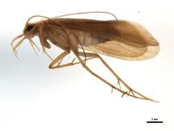Image of <i><i>Chimarra</i></i> (Chimarra) <i>auronitens</i> Ulmer 1906