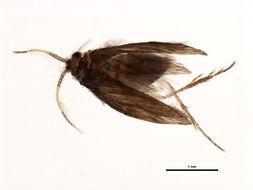 Image of <i>Orthotrichia</i> Cjg