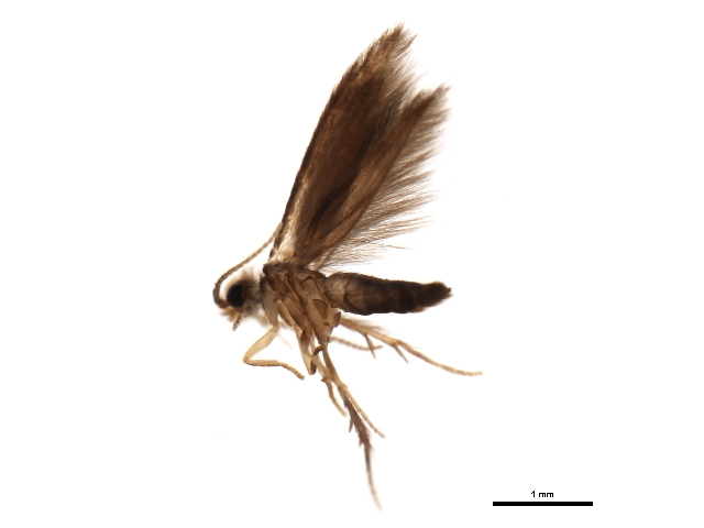 Image of <i>Scelotrichia</i> Cjg
