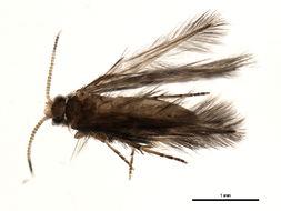 Image of <i>Oxyethira</i>