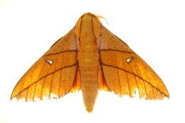 Image of <i>Adeloneivaia orientoandensis</i> Brechlin & Meister 2011