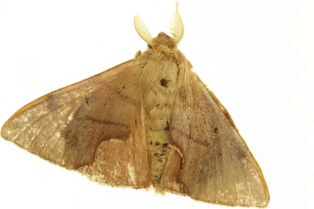Image of <i>Trogoptera</i>