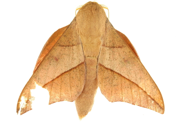Image of <i>Adeloneivaia catoxantha</i> (Rothschild 1907)