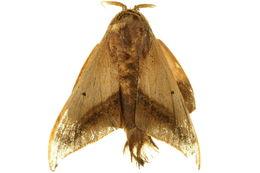Image of <i>Cicinnus viemanda</i> Schaus 1928