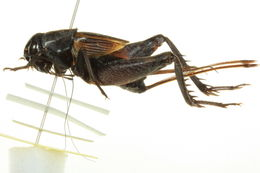 Image of Taciturn Wood Cricket