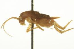Image of Oregon Ant Cricket