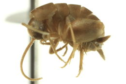 Image of ant-loving crickets