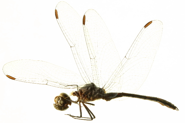 Image of Spot-tailed Dasher